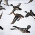ducks over frozen lake at Castle Howard
