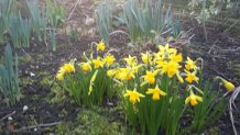 Spring Cottage Garden's Daffodils